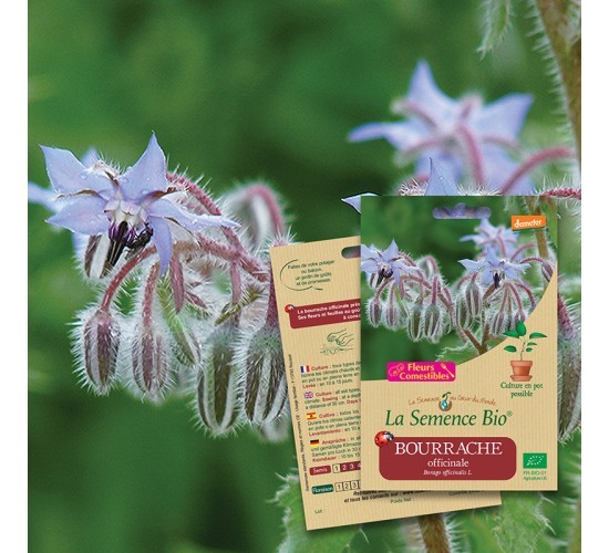 Graines de BOURRACHE Officinale BIO
