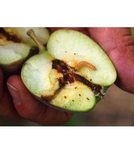 Ver du Carpocapse de la pomme poire noix