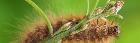 Solutions contre la chenille processionnaire du pin