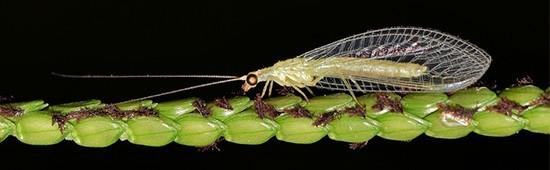 Insectes auxiliaires pour une lutte biologique