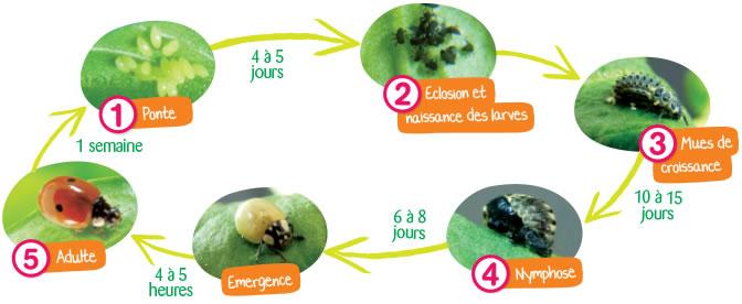 Cycle de vie des coccinelles