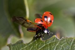 Est-ce que la coccinelle est un insecte ?