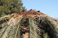 Le charançon rouge du palmier