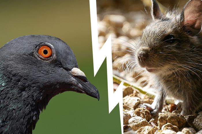 Ultrason à pigeon ou ultrason rat, une méthode naturelle de lutte biologique